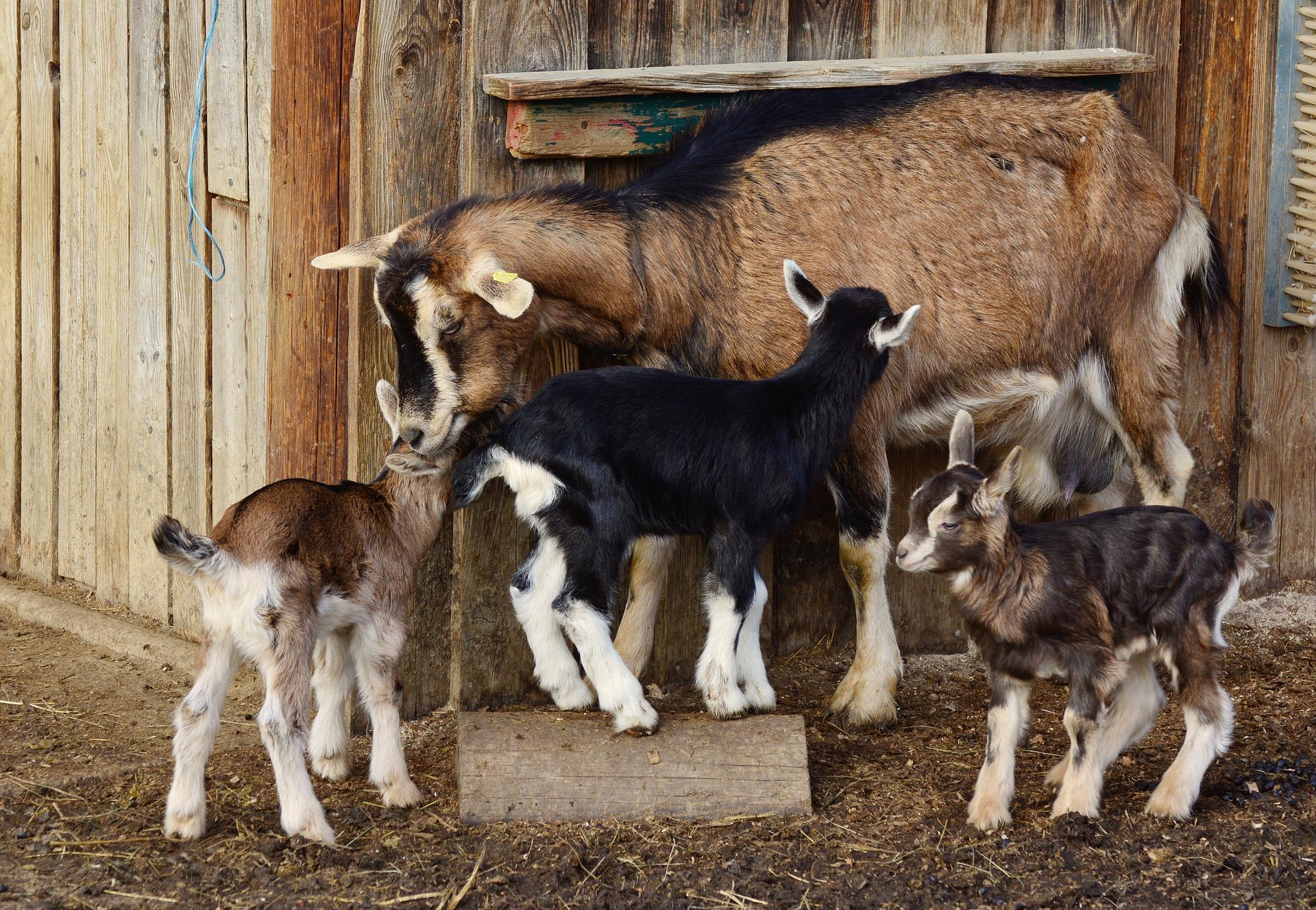 Aparece una cabra y varias cabritas