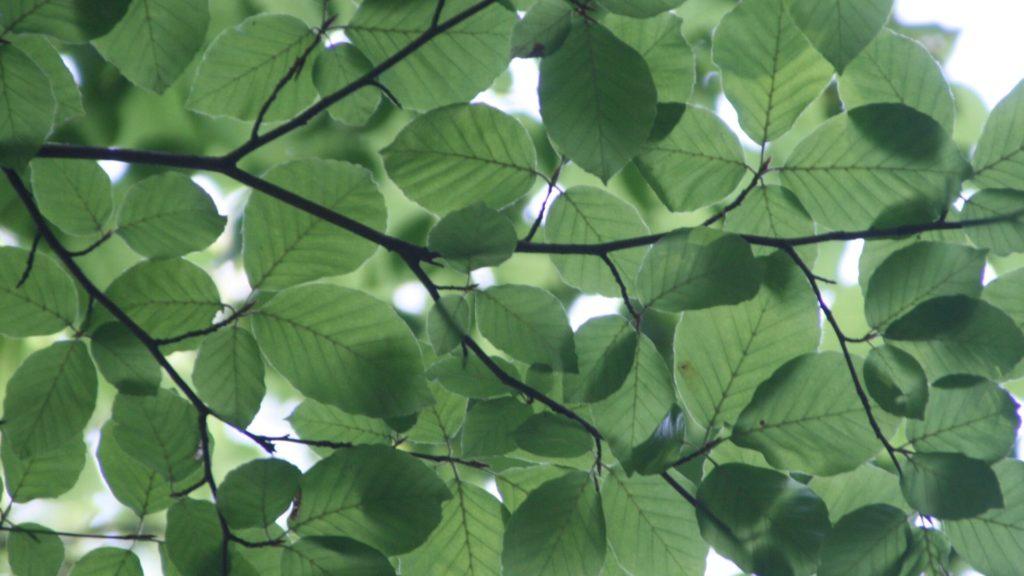 ramas de un árbol llenas de hojas verdes